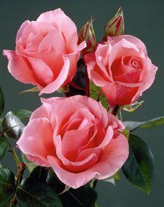 Resultado de imagem para imagenes de rosas rosas