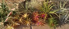 Where To Buy Air Plants Online Air Plants Care, Plant Care, Garden Plants, Indoor Plants, Buy Plants, Strawberry Planters, Buy Flowers, Plants Online, Houseplants