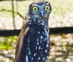 Skeptic owl