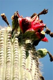 West Texas Staffing and Recruiting Agency Prickly Pear Cactus, West Texas, Wildflowers, Bloom, Plants, Cactus, Plant, Wild Flowers, Planets