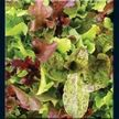 Lettuce : Rocky Top Lettuce Mix Cool, Warm Annual Icon_container Loads of sweet lettuce flavor This improved formula blend is now better than ever! With more brightly colored and unique lettuces, it makes a flavorful and brilliant salad. A top-selling item; gardeners just love it! Perfect for better markets or your home table. People love the rich, old-fashioned taste. Includes some non-listed rare varieties.  Asteraceae Lactuca sativa, C. endivia, E. sativa blend