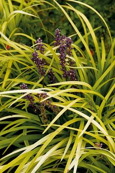 Pee Dee Gold Ingot Lilyturf - Monrovia - Striking yellow young foliage matures to deep golden or chartreuse and holds its color year-round. Brightens shady areas as an edging or groundcover. Short spikes of slender lavender flowers add contrasting interest. Evergreen.