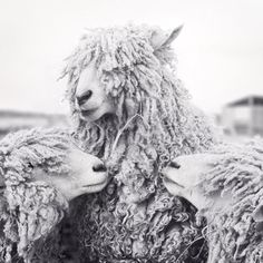 "Black and White Photography Print ""Sheep with Backup Singers"""