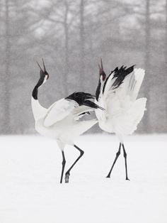Japanese cranes in snow