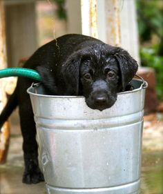 This is such a Labrador thing. If there is an ounce of water in the vicinity, they will find it and be in it in record time.