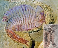 Ancient Arthropod Fossil Had First Modern Brain