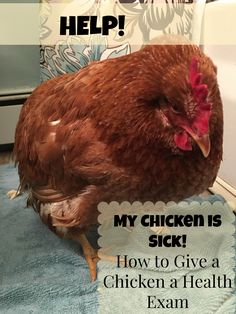 My Chicken is Sick! -- Is your chicken feeling under the weather? Learn the steps to give your chicken a health exam Backyard Poultry, Backyard Farming, Chickens Backyard, Backyard Birds, Backyard Coop, Backyard Ideas, Keeping Chickens, Raising Chickens, Gallus Gallus Domesticus