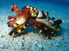 [ Cuttlefish ]