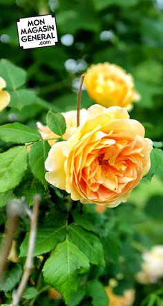 De la tige au buisson de roses : cliquez sur la photo et vous saurez tout ce qu'il faut pour de belles boutures !