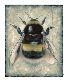 #BuffTailed bumblebee. Only the queen will have a buff tail, the workers will all have white. #SaveTheBees http://www.bbc.co.uk/nature/life/Bombus_terrestris