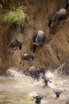 ~~triple trouble.. ~ wildebeest by Mark Bridger~~