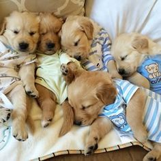 Golden Retriever puppies! Omg...I would love to have them all