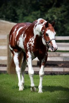 Top 24 horse pictures ever. This one, Beautiful Piebald, Paint horse, Chestnut colored mingled white markings with shiny coat and such a pretty face. What a healthy horse. Look at those muscles!