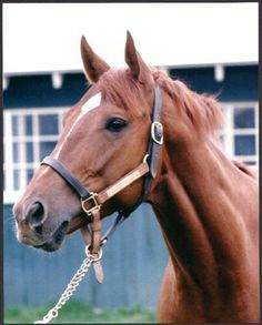 Secretariat---the greatest horse in equine history. The only horse in history to win the Kentucky Derby in under two minutes. Pretty Horses, Horse Love, Beautiful Horses, Animals Beautiful, Horse Head, Horse Art, Thoroughbred Horse, Clydesdale Horses, Breyer Horses