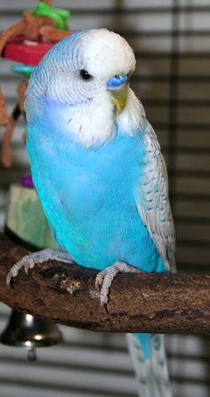 Violet (sf) skyblue spangle male English budgie x American parakeet cross, O'Malley