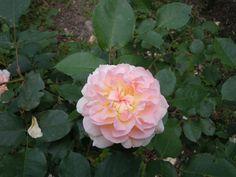 # Rose Flower Shrub Hd Flowers, Desktop Windows, Shrub Roses, Iphone Mobile, Shrubs, Wallpaper Backgrounds, Apple Iphone, Plants, Shrub