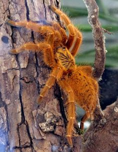 Little Red One. Baby Animals Pictures, Funny Animal Pictures, Funny Animals, Pet Tarantula, Cool Insects, Human Babies, Reptiles And Amphibians, Natural World, Spirit Animal