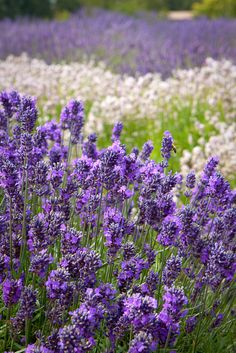 I love lavender and Washington. And this happens to be lavender in sequim, Washington :)