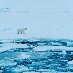 Polar bears nearing extinction (350.org)
