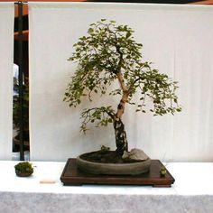 bonsai birch tree - Google Search