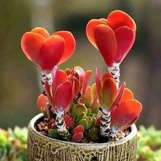 How To Use Succulent Landscape Design For Your Home Unusual Plants, Exotic Plants, Cool Plants, Exotic Flowers, Amazing Flowers, Beautiful Flowers, Weird Plants, Cacti And Succulents, Planting Succulents