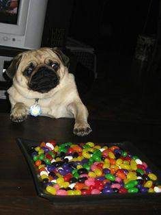 My face when jellybeans. #pug