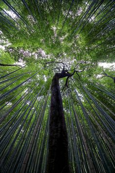 kyoto Sagano-嵯峨野-竹林の中で高く伸びる樹木