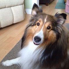 Sheltie Poser #doglovers #dogs
