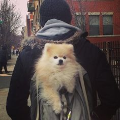Pomeranian in a book bag