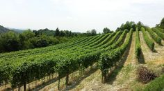 Ogni anno il 'Vigneto Italia' potrà crescere al massimo di circa 6.400 ettari. Dando attuazione alla disciplina europea, il ministero delle Politiche agricole mette un calmiere alla...