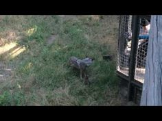 We'd like to share an exciting little video of our two newest additions, Mexican wolf pups.