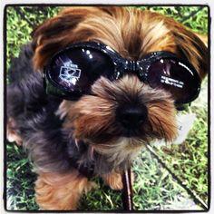 Cool sunglasses! #yorkie #browni #sunglasses