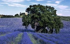 Standing in a scenic lavender field in Arlena di Castro, Italy is Suite Bleue, a picturesque tree house getaway that looks like something out of a childhood fantasy. Baumgarten, Purple Plants, Cool Tree Houses, Hotels, Blue Pictures, Architect House, Lavender Fields, Green Building, Architecture