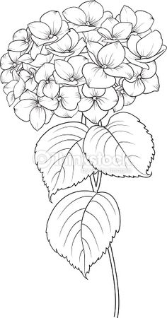 Blooming flower hydrangea on white background. Flower Line Drawings, Flower Sketches, Art Drawings, Fabric Painting, Painting & Drawing, Painting Tattoo, Colouring Pages, Coloring Books, Watercolor Flowers