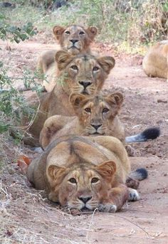 Mother lion and her cubs pose for a family purr-trait - Happy Tiere Animals And Pets, Baby Animals, Funny Animals, Cute Animals, Wild Animals, Groups Of Animals, Big Cats, Cats And Kittens, Cute Cats