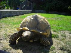 Is that a Tortoise in Your Front Yard?