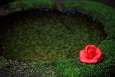 法然院の苔の水鉢と鮮やかな椿 Japanese Landscape, Japanese Gardens, Live Wallpapers, Okinawa, Rose, Flowers, Plants, Asia, Dreams