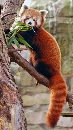 "radivs: ""Red Panda by Robert Dewar "" Cute Baby Animals, Animals And Pets, Baby Pandas, Nature Animals, Wild Animals, Beautiful Creatures, Animals Beautiful, Pinguin Tattoo, Spirit Animal"