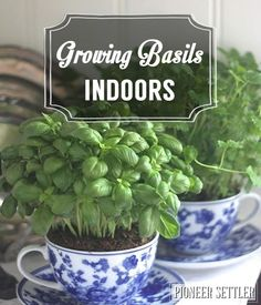 Homesteading Guide To Growing Basil Indoors | Self-Sufficiency Skills by Pioneer Settler http://pioneersettler.com/growing-basil-indoors-homesteading/