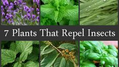 Plants that Repel Insects