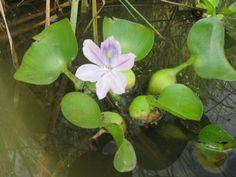 vodní hyacint - Hledat Googlem