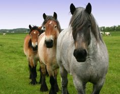 Shivers in Warmblood and Draft Horses: What It Is and What to Do