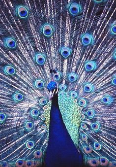 Peacock feathers still look better on Peacocks. most peacocks agree on… Most Beautiful Animals, Beautiful Birds, Beautiful Creatures, Peacock Feathers, Peacock Blue, Peacock Art, Peacock Colors, Peacock Wreath, Albino Peacock