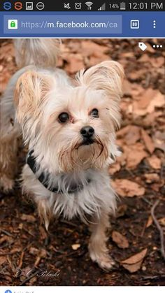 ~ Daily Dose of Cuteness ~  My Morkie Fanny (Shared by Fanny Hielscher) #DogoftheDay http://aboutmorkies.com/ Follow us: Facebook.com/YorkiesMorkiesMaltese Twitter.com/morkienation #dog #doglovers #animals #pets #yorkies #yorkie #yorkielovers #petlovers #dogowners #puppy #adorablepets #sillydogs #smallanimals #instadogs #instayorkie #instapuppy #instaanimals #petsofinstagram #dogsofinstagram #yorkieofinstagram #puppylove #animallovers #ilovemypet #ilovemyyorkie #igdogs #igpets…