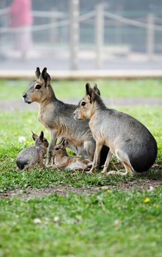 The Patagonian mara (Dolichotis patagonum), is a relatively large rodent in the mara genus (Dolichotis).[3] It is also known as the Patagonian cavy, Patagonian hare or dillaby. This herbivorous, somewhat rabbit-like animal is found in open and semi-open habitats in Argentina, including large parts of Patagonia. It is monogamous, but often breeds in warrens that are shared by several pairs.