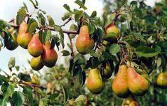 Как получить хороший урожай груш на второй год | Эдвика | Яндекс Дзен