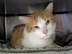 OAKLEY - 17699 - - Manhattan  *** TO BE DESTROYED 01/13/18 *** OAKLEY has a puncture wound on his left hind foot which is very painful. He needs follow up vet care and a furever home! -  Click for info & Current Status: http://nyccats.urgentpodr.org/oakley-17699/