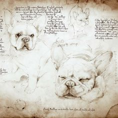 French Bulldog Study. Cats and Dogs Drawn in the style of Leonardo da Vinci. To see more art and information about Leonardo's Dogs click the image.