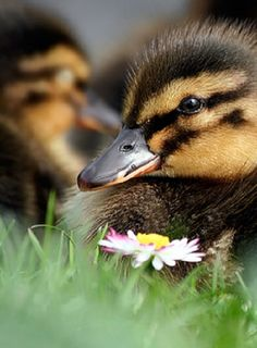 The Duckling and the Daisy by Roeselien Raimond Swans, Beautiful Birds, Animals Beautiful, Farm Animals, Cute Animals, Amazing Animal Pictures, Cute Ducklings, Duck House, Baby Ducks