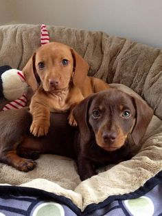 """Acquire fantastic ideas on """"dachshund puppies"""". They are actually on call for you on our website. Dachshund Funny, Dachshund Love, Miniature Dachshund Puppies, Doxie Puppies, Cute Funny Animals, Cute Baby Animals, Cute Puppies, Cute Dogs, Weenie Dogs"""